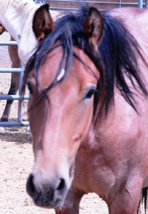 Here is Merlot (#9380) a yearling red roan gelding from Green Mountain, Wyoming. He is located in Rock Springs, WY and can be shipped to various locations.