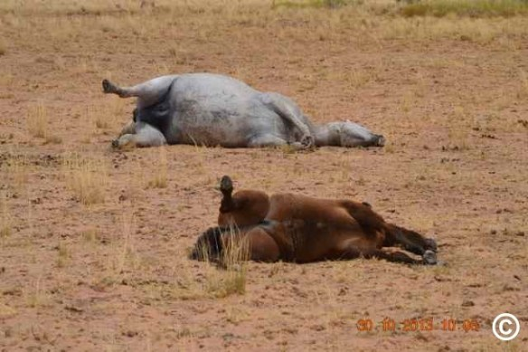 Brumbies are Australian heritage wild horses. Witnesses found them shot and killed in the Lake Gregory aerial cull/kill in 2013 (Copyright protected)