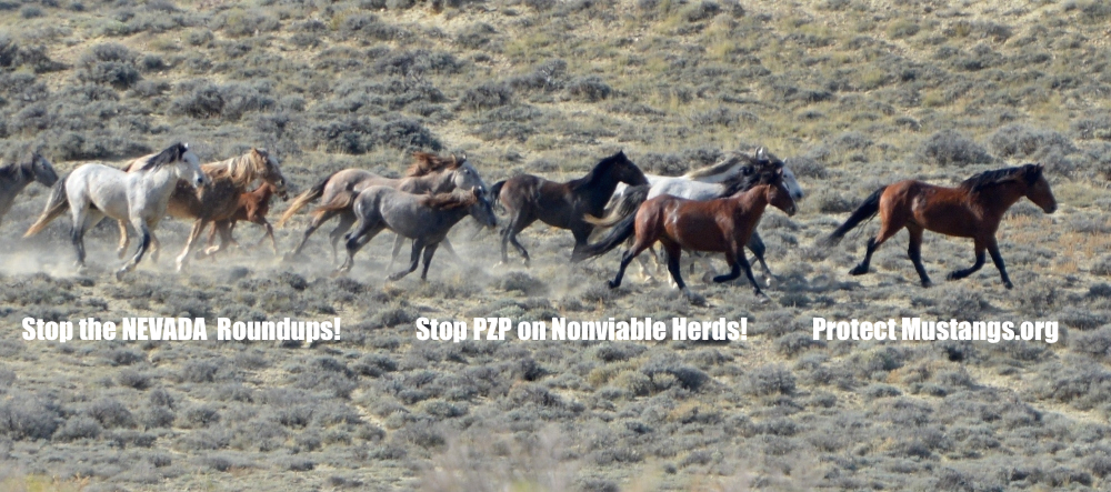 wild horse roundup Horses seen galloping during a round-up are terrified wild animals chased by helicopter and running for their lives (eg, nv, 1998: nine young mares died, after a 1,000-mile truck ride to colorado, of capture myopathy, a condition in wild animals triggered by anxiety of capture.