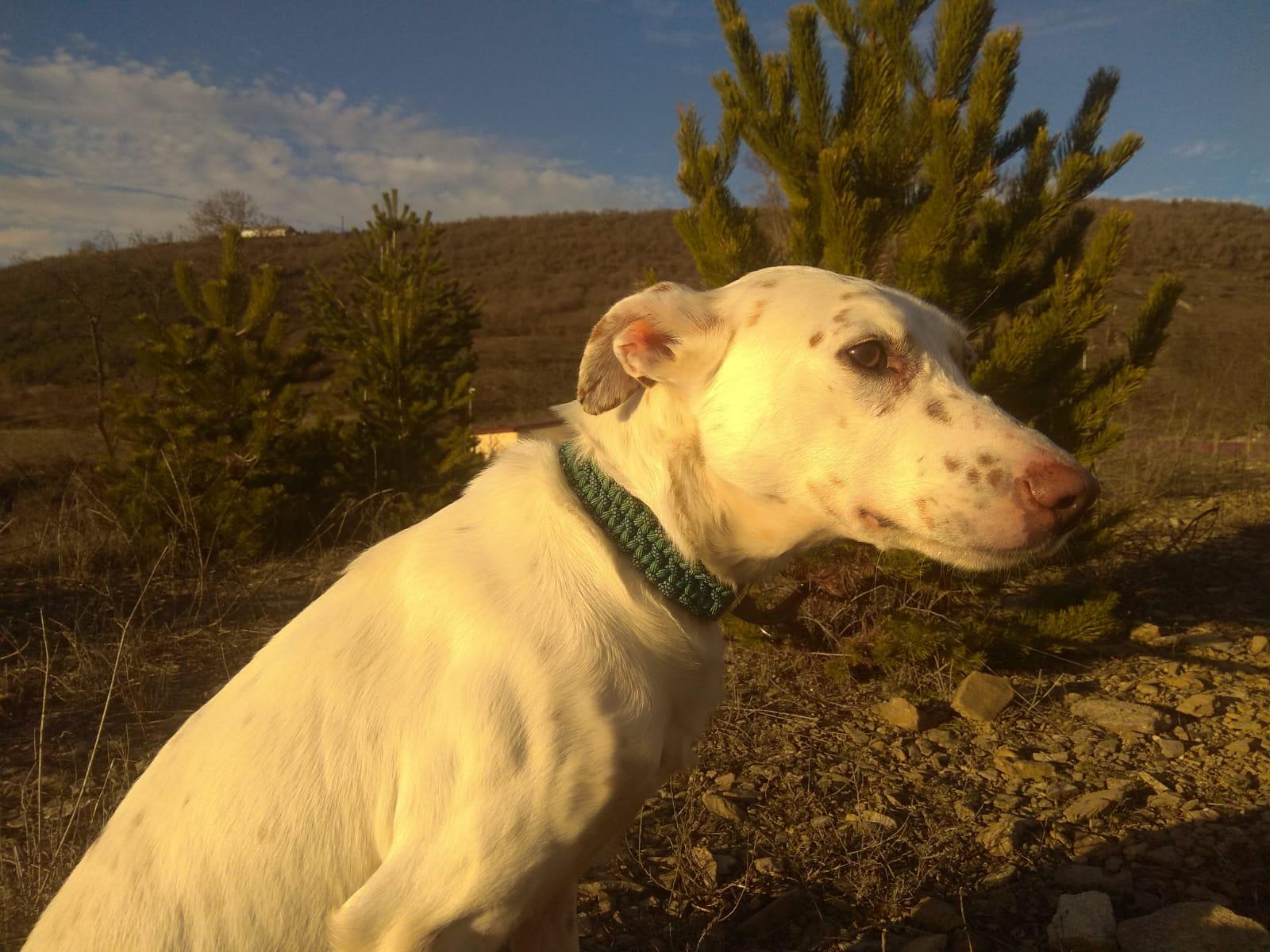 PALOMO DIC19 perro en adopción en la protectora de Jaca APA Pirineos 1412110