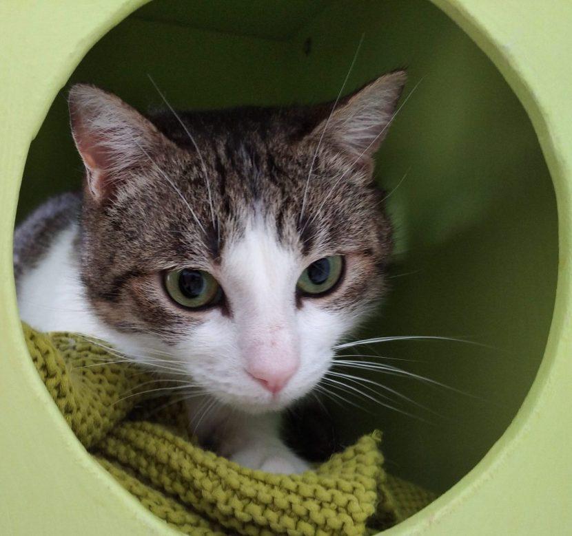 gato sarin en el objetivo GATO EN ADOPCIÓN EN LA PROTECTORA DE JACA