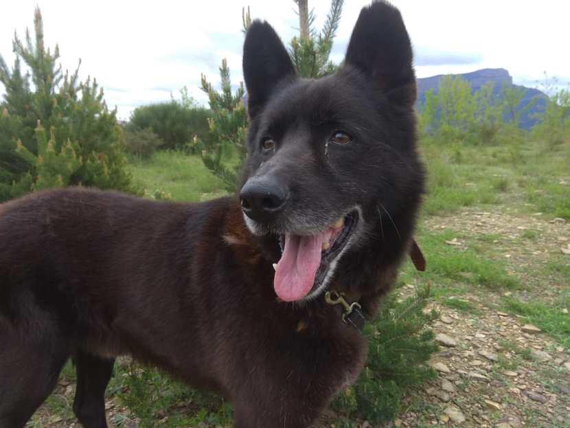 perro pastor belga en adopción en la protectora de Jaca