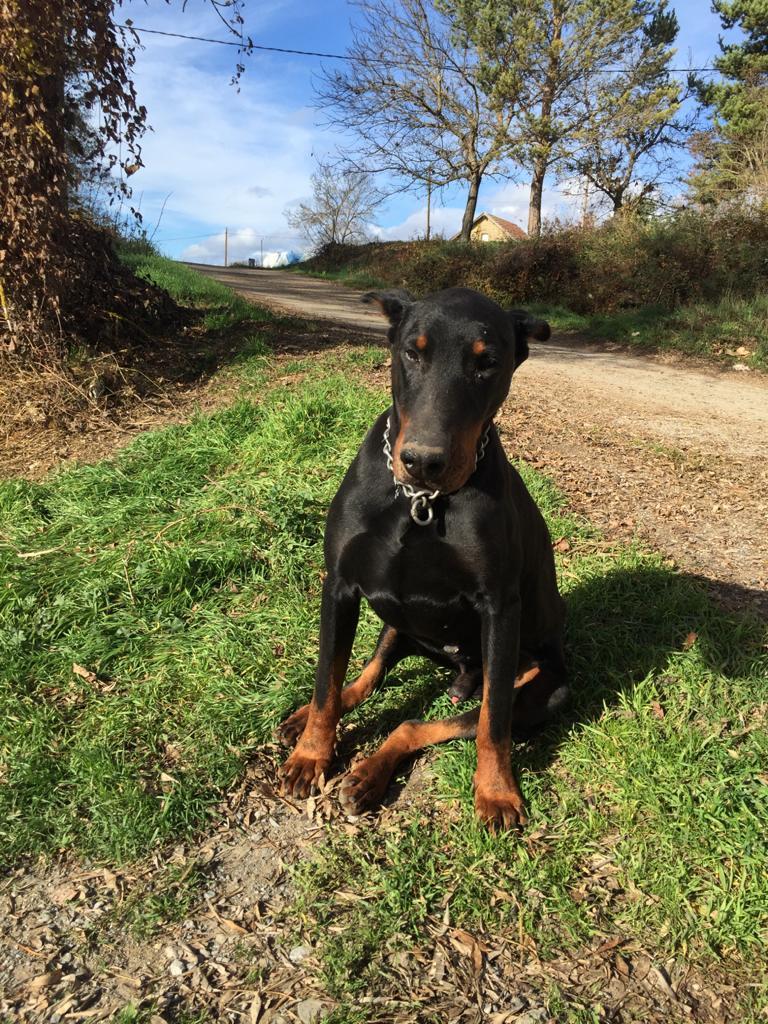 DOBERMAN perra en adopción en la protectora de jaca dic12