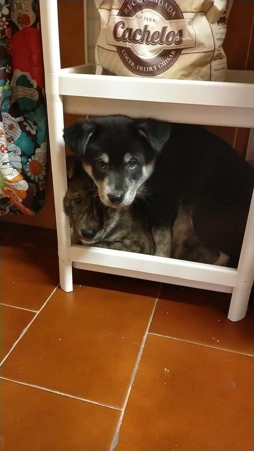 rex y thor cachorros perro border colie en adopción en la protectora de animales de jaca dic20