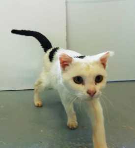budy gato en adopción en la protectora de jaca para animales abandonados ene21