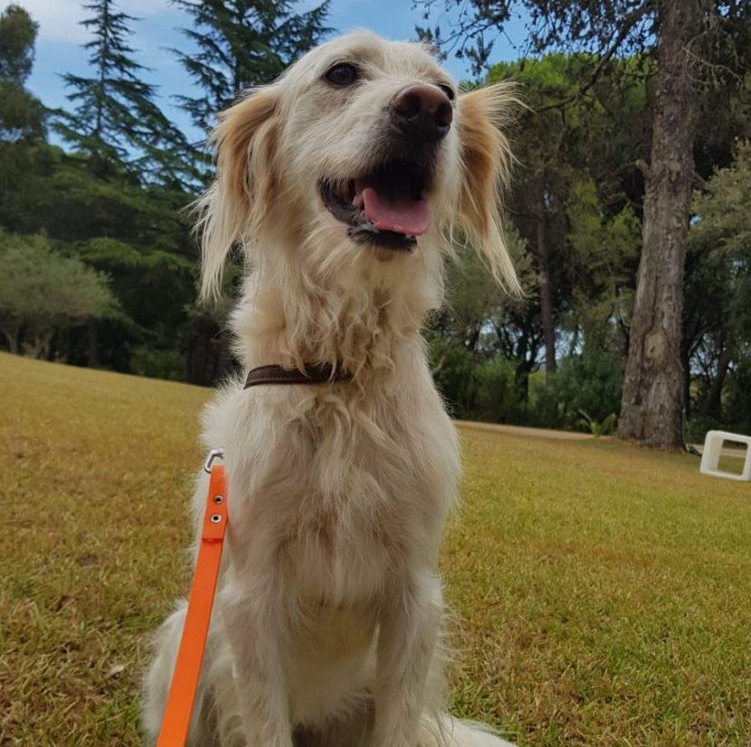 greta perro abandonado jaca huesca 2021 pastor perra cachorro setter en adopción en la protectora de animales de Jaca