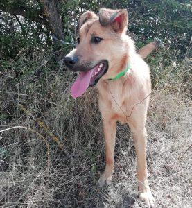 rolo perro cachorro mestizo en adopción en la protectora de animales abandonados de Jaca huesca 2021