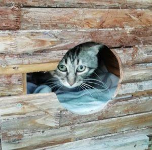 Barry gato joven en adopción en la protectora de animales de Jaca
