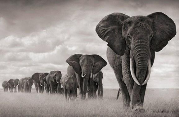 african-elephants-blackandwhite
