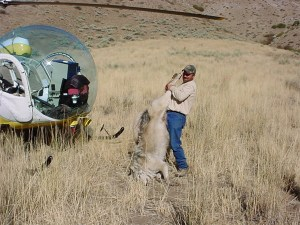 Wildlife-Services-Shoots-Wolf-From-Air-in-Idaho-Photo-USDA