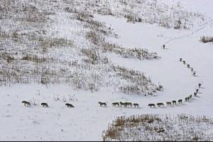 wolf travel line