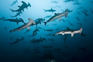 Hammerhead Sharks, Cocos Island Photo by Edwar Herreno, Undersea Hunter