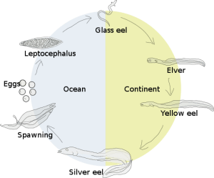 Eel Life Cycle by: Salvor Gissuradottir, Wikimedia Commons