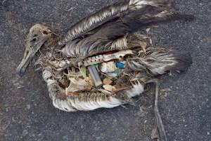 albatross fledgling & plastic
