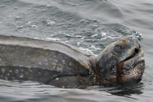 pacific leatherback sea turtle is California's official marine reptile