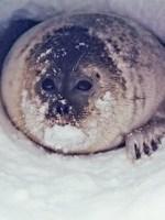seals climate change