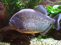 picture red-bellied piranha, piranha facts