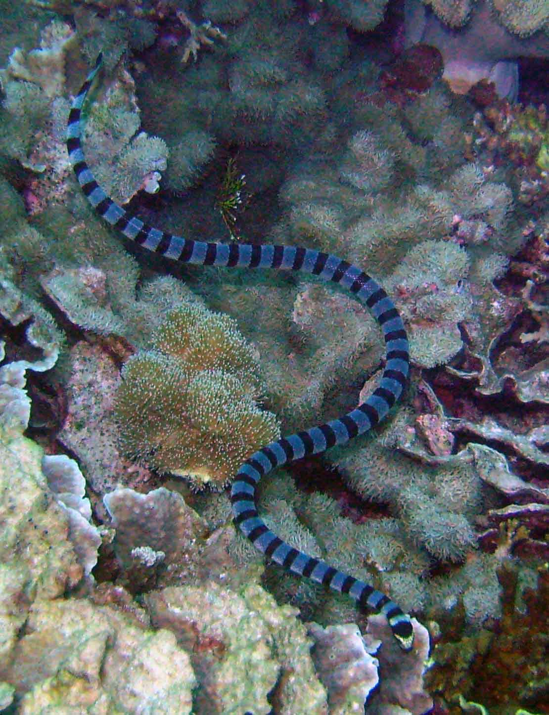 What Kind Of Predators Does A Sea Snake Have