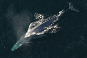 Blue Whale by NOAA