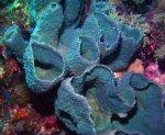 blue vase sponge, sea sponges facts