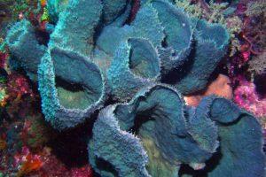 blue vase sponge Wakatobi Indonesia width=