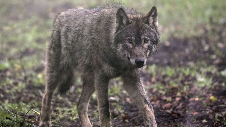 wolves, protect the wolves, protect idaho wolves