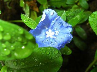 Blue_Flower_1600