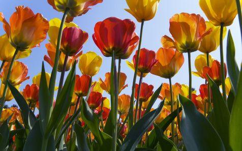 Tulpen in de Keukenhof (Tulips in Keukenhof Gardens)
