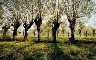 Wierzby, Mazowsze (Willow Trees in the Mazowsze Region)