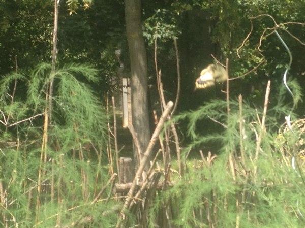 Schwalbenschwanz bei der Eiablage