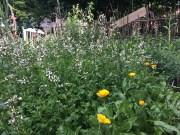 altbekannte Rucola-Bienenweide