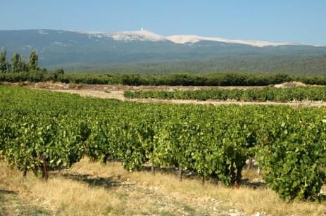 Vignoble au pied du mont Ventoux. Bédoin (Vaucluse).