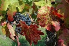 Grappe de raisin en automne.