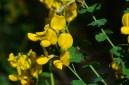 Cytise à feuilles sessiles (Cytisophyllum sessilifolium).