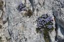 Globulaire (Globularia vulgaris).