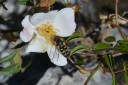 Syrphe sur une fleur d'églantier.
