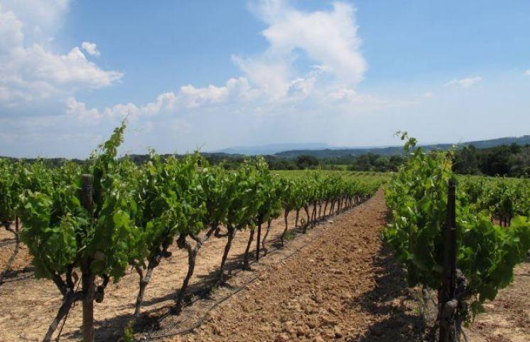 Cucuron vineyard4