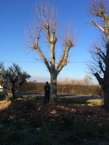 Plane tree 140-160cm €9,500