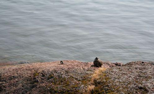Tämä sorsa ei säikkynyt meitä lainkaan Äggskärissä. Samanlaisia kivilintuja oli saaren monilla rannoilla.