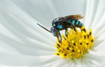 <摂理の御言葉と万物>絶滅危惧種にも指定された「青い蜂」5