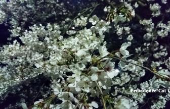 つくば市の夜桜3
