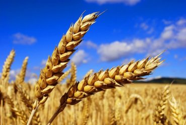 Від пожежі врятовали на Теребовлянщині посіви пшениці і ячменю на площі 1,5 га