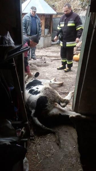 У Борщеві рятували 180-кілограмового бика, який провалився у погріб