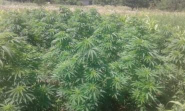 На Теребовлянщині місцевий мешканець, який посіяв на городі більше трьох тисяч рослин коноплі, постане перед судом