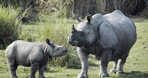 One Horned baby and mother Rhinoceros at Kaziranga National Park