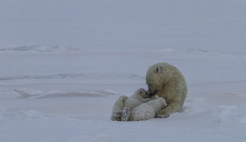 A polar bear and its two cubs, Norway (Paal Uglefisk/AGORA images)