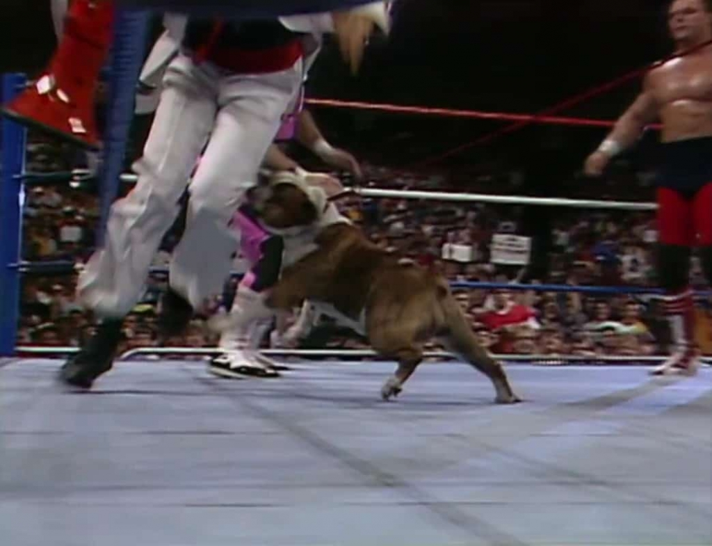 British Bulldogs mascot, Matilda, attacking Jimmy Hart and his Megaphone! Saturday Night's Main Event, May 2nd, 1987.