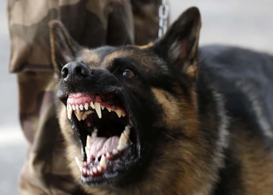 German Shephard Dog on Leash baring its fangs