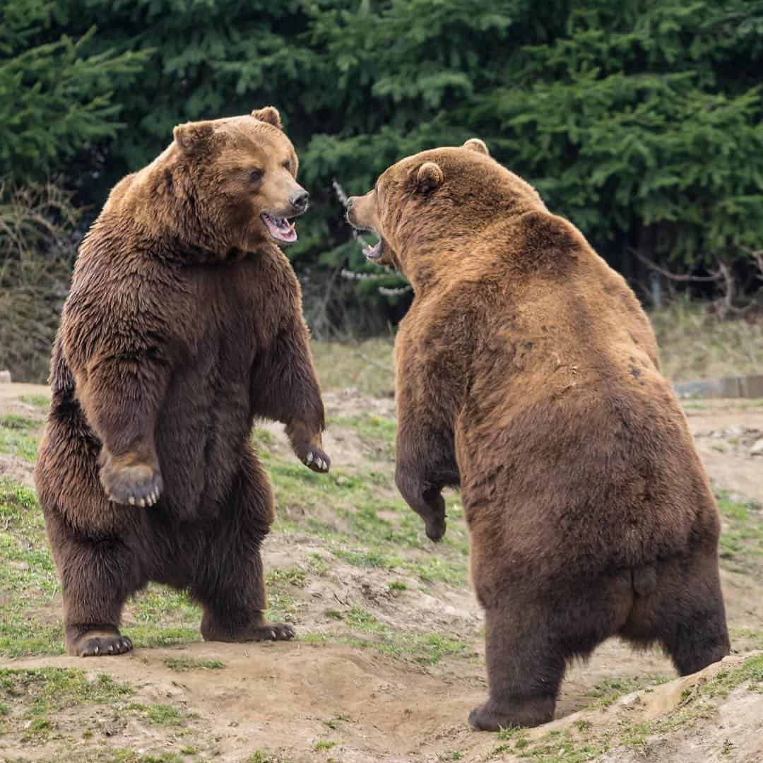 Bears may look cute and cuddly, but they are still wild animals that can behave unpredictably, often to the detriment of people around them.