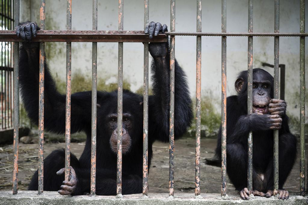 Michael Zumstein - 2 - Gorillas - Abidjan Zoo